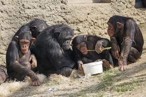 yavru şempanze