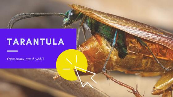 hamamböceği içinden çıkan parazit
