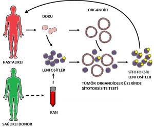 Organoid : Akciğer organoidlerinin bu kullanımının, birçok akciğer hastalıklarının teşhisi ve tedavisinde ciddi fayda sağlıcak