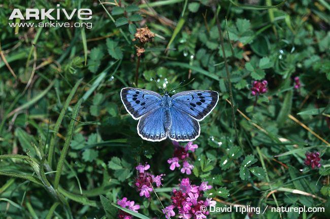 mavi kelebek