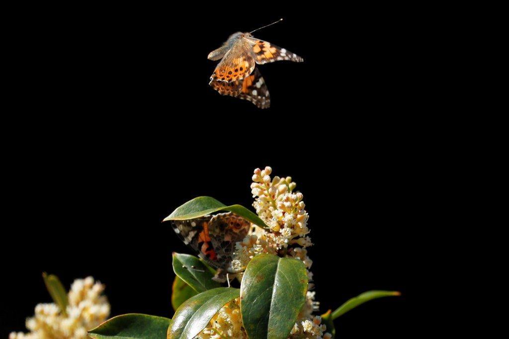 kelebek göçü