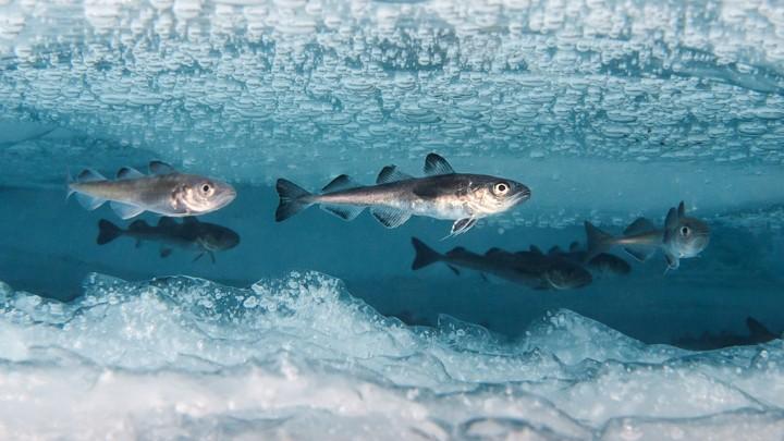 Morina balığı ve Notothenia