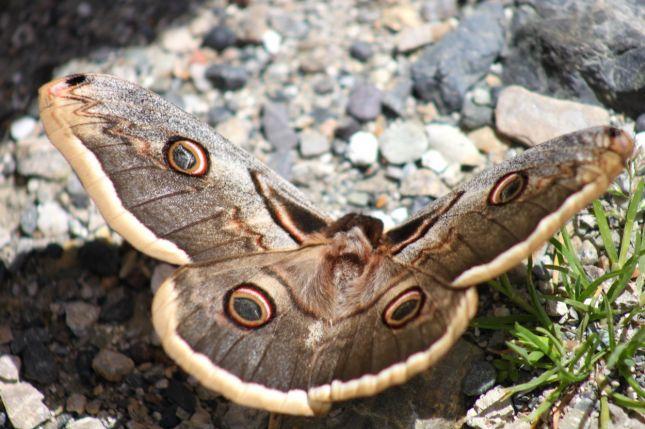 tavus kelebeği