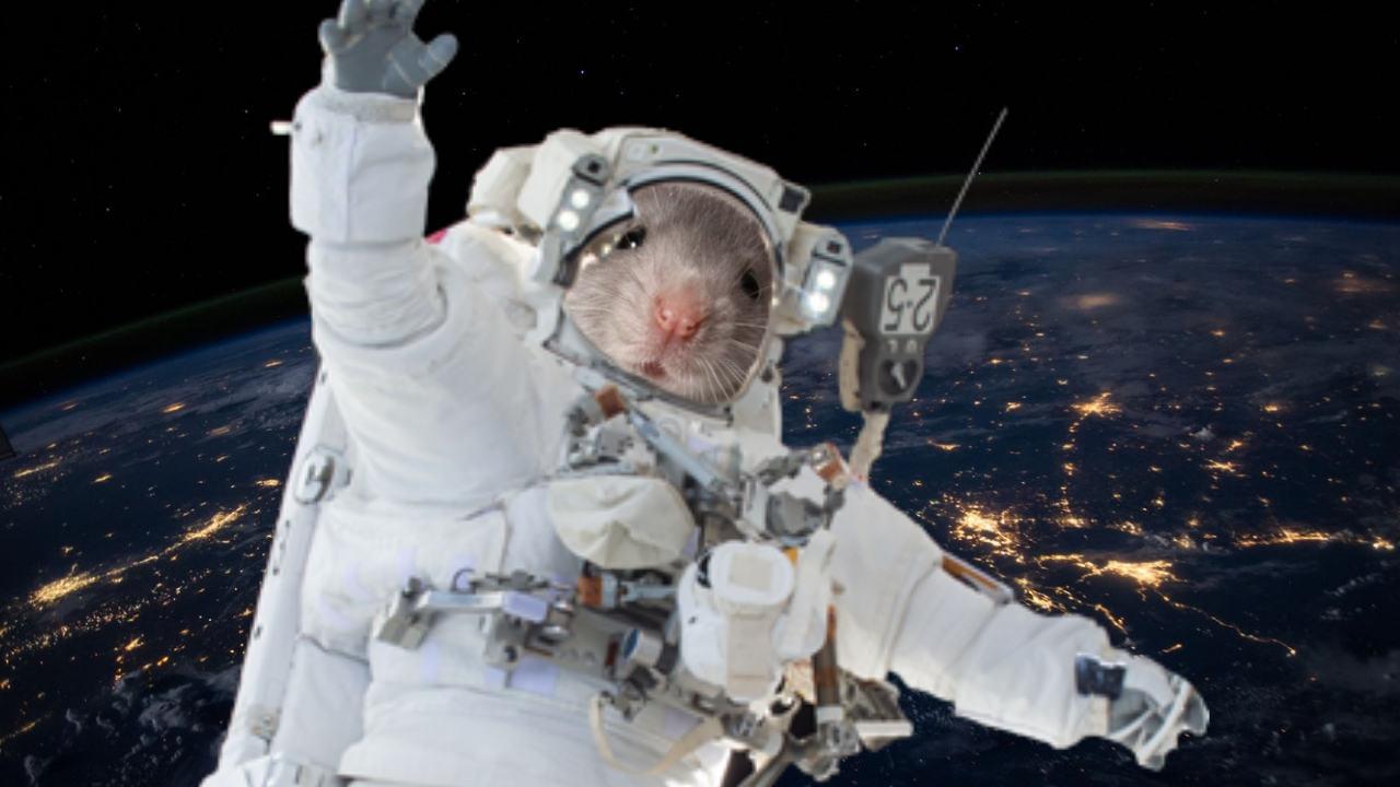 Astronot farelerin mikro yer çekiminde yarışları