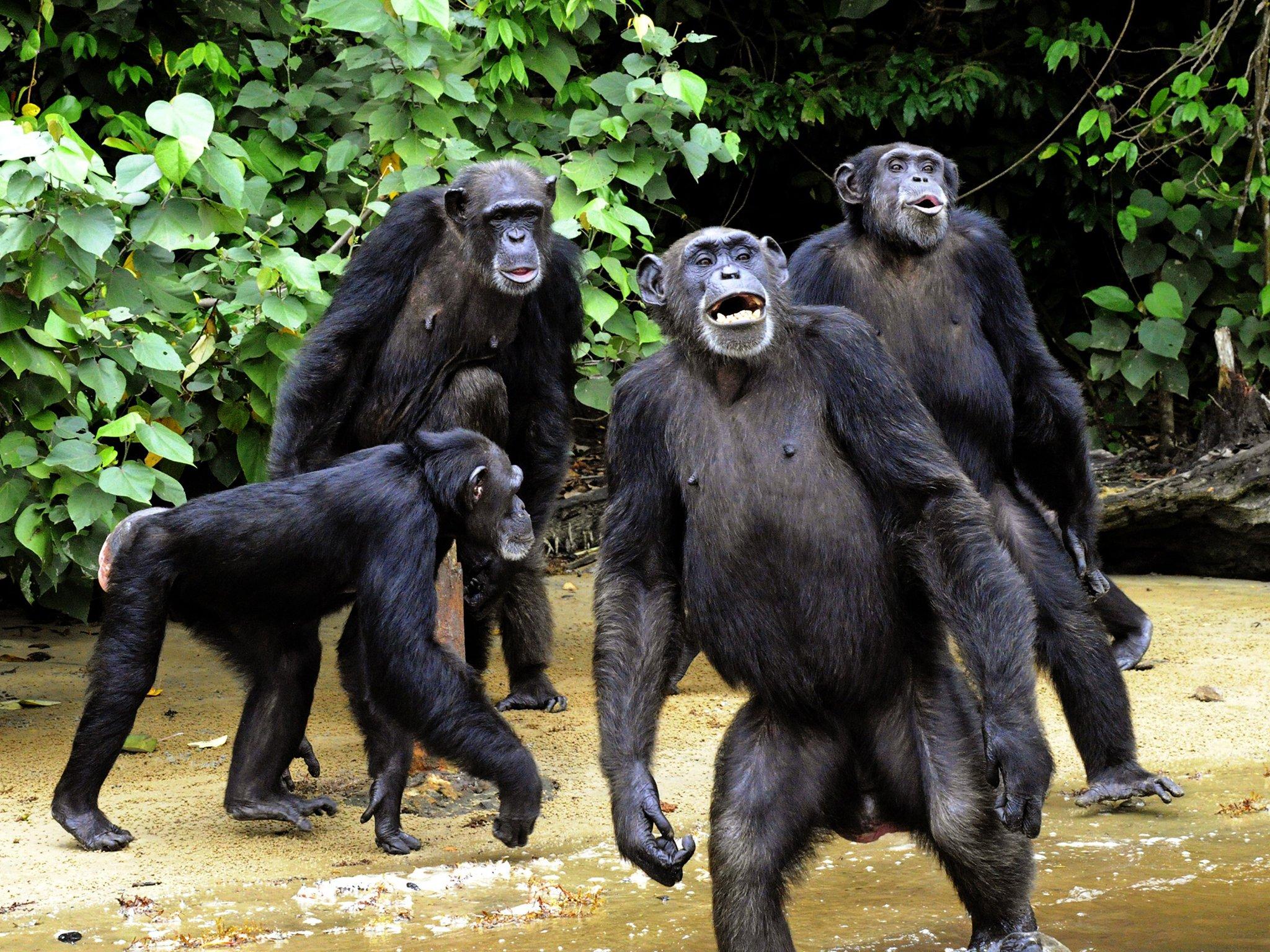 Maymunlar da empati kurabilir