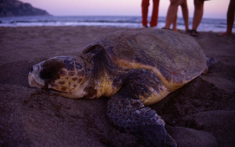 deniz kaplumbağaları yumurta bırakma dönemi mersin pop fest