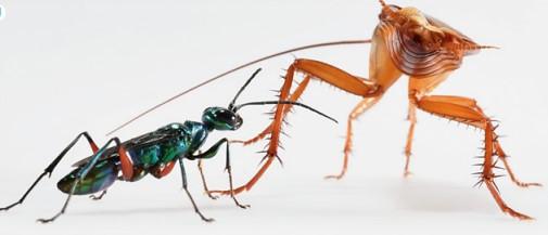 Hamamböceği ve parazit arı yan yana