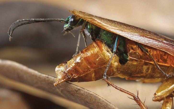 Hamamböceği içinden çıkan arı