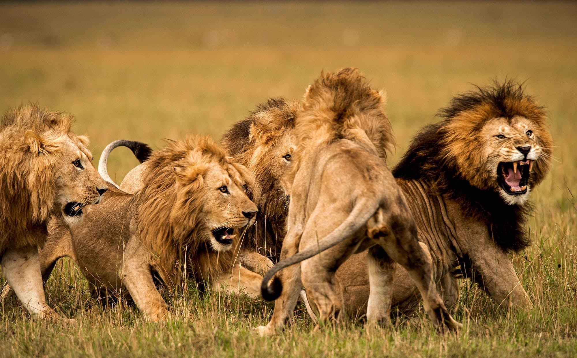 Aslanlar kaçak avcıyı yedi