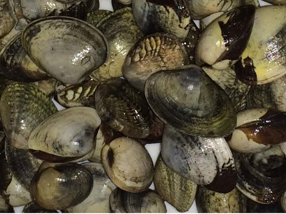Bulaşıcı kanser hücreleri deniz canlılarında yaygın