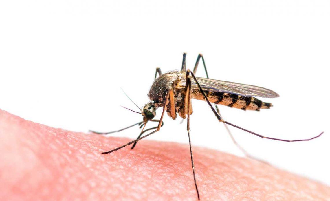 Sıtma aşısı için sivrisinek giyotini