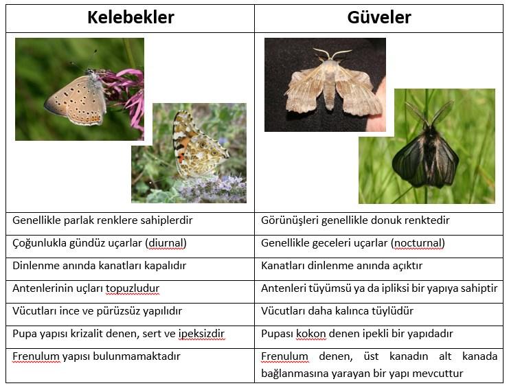kelebek güve farkı