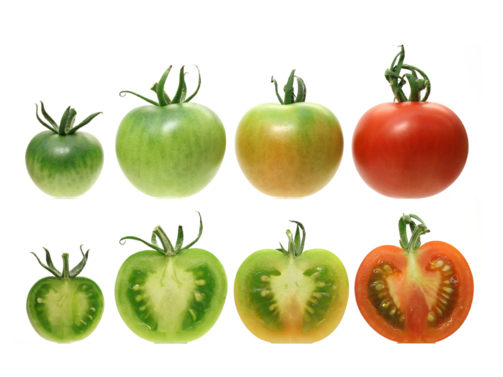 domates gen mutasyonu
