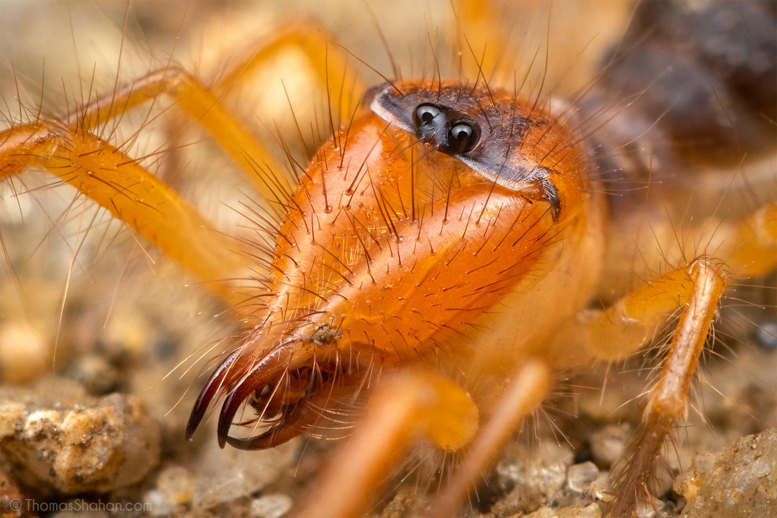 et yiyen örümcek, böğü