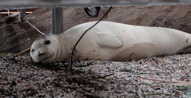 Bodrum Gümbet sahili beyaz fok balığı Binnaz şikayet edildi