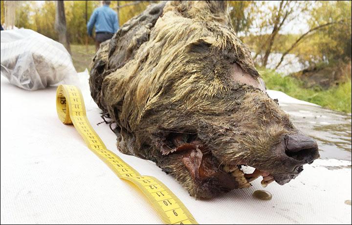 Sibirya dev kurt fosili kafatası