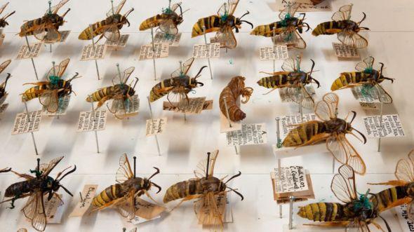 Oxford Doğal Tarih Müzesi böcek koleksiyonu