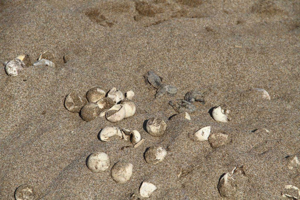 Alanya caretta caretta yuvaları su altında kaldı