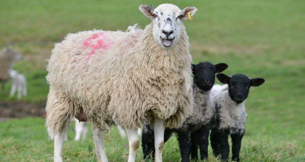 Çanakkale koyunlarda veba