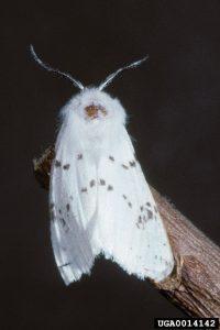 Amerikan Beyaz Kelebeği