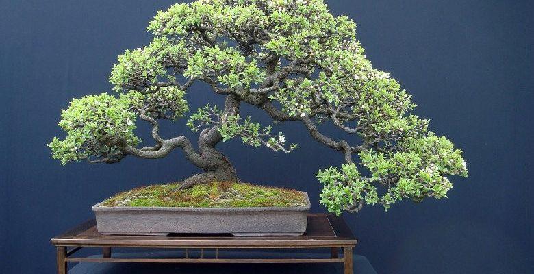 minyatür bonsai ağacı nedir bakımı nasıl yapılır