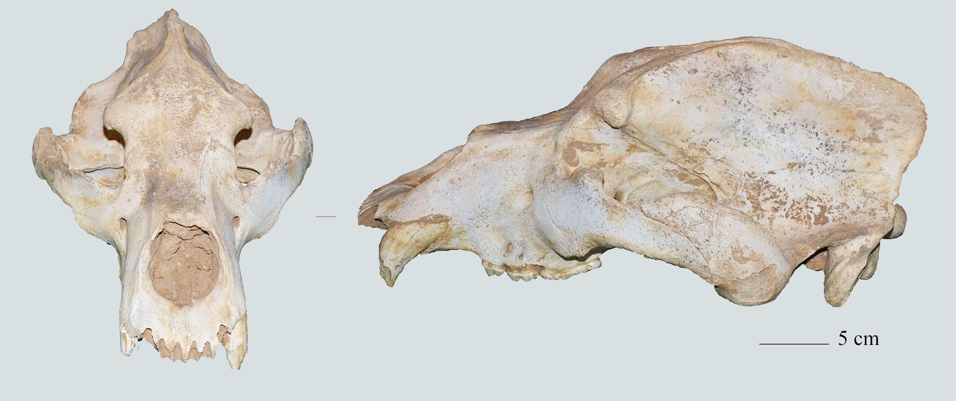 mağara ayısı
