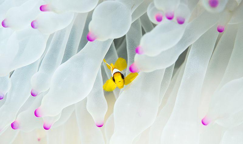 deniz anemonu