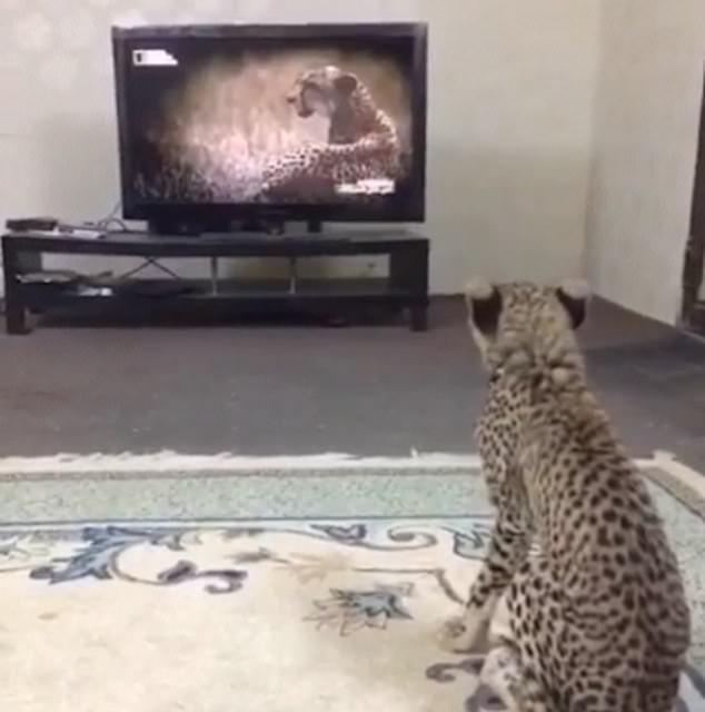Evde Çita besleyen Araplar