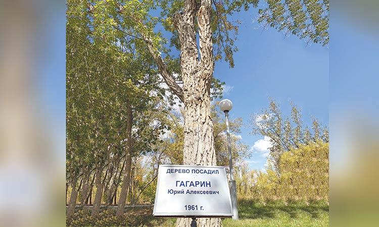 Yuri Gagarin ağacı, ağaçlıktaki en büyük ağaç . sarılabilecek kadar kalın bir gövdesi var.