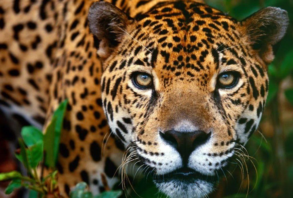 amazon ormanları Jaguar