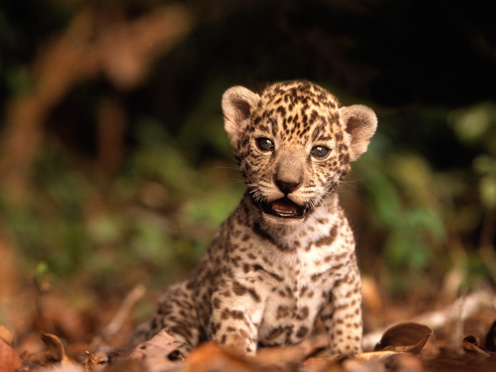 jaguar yavrusu