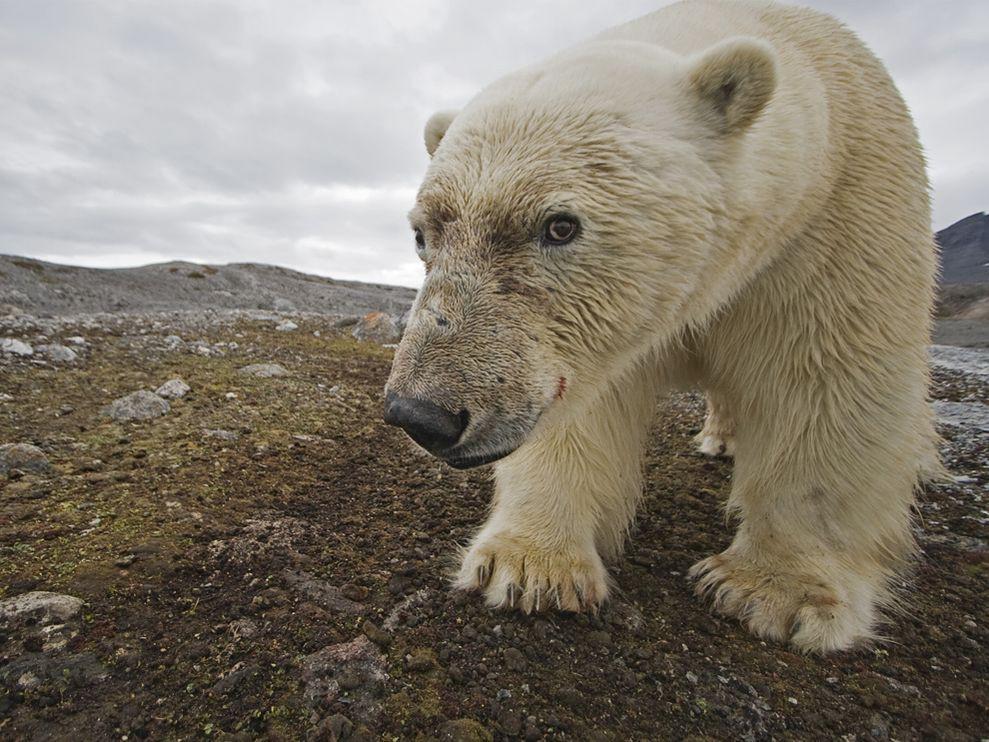 iklim değişikliği kutup ayısı