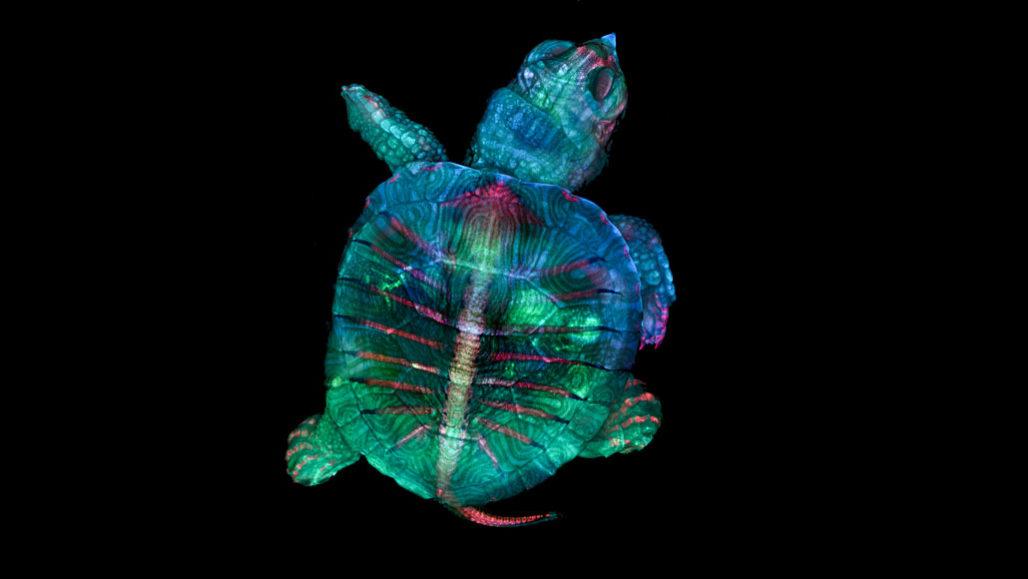 kaplumbağa embriyosu