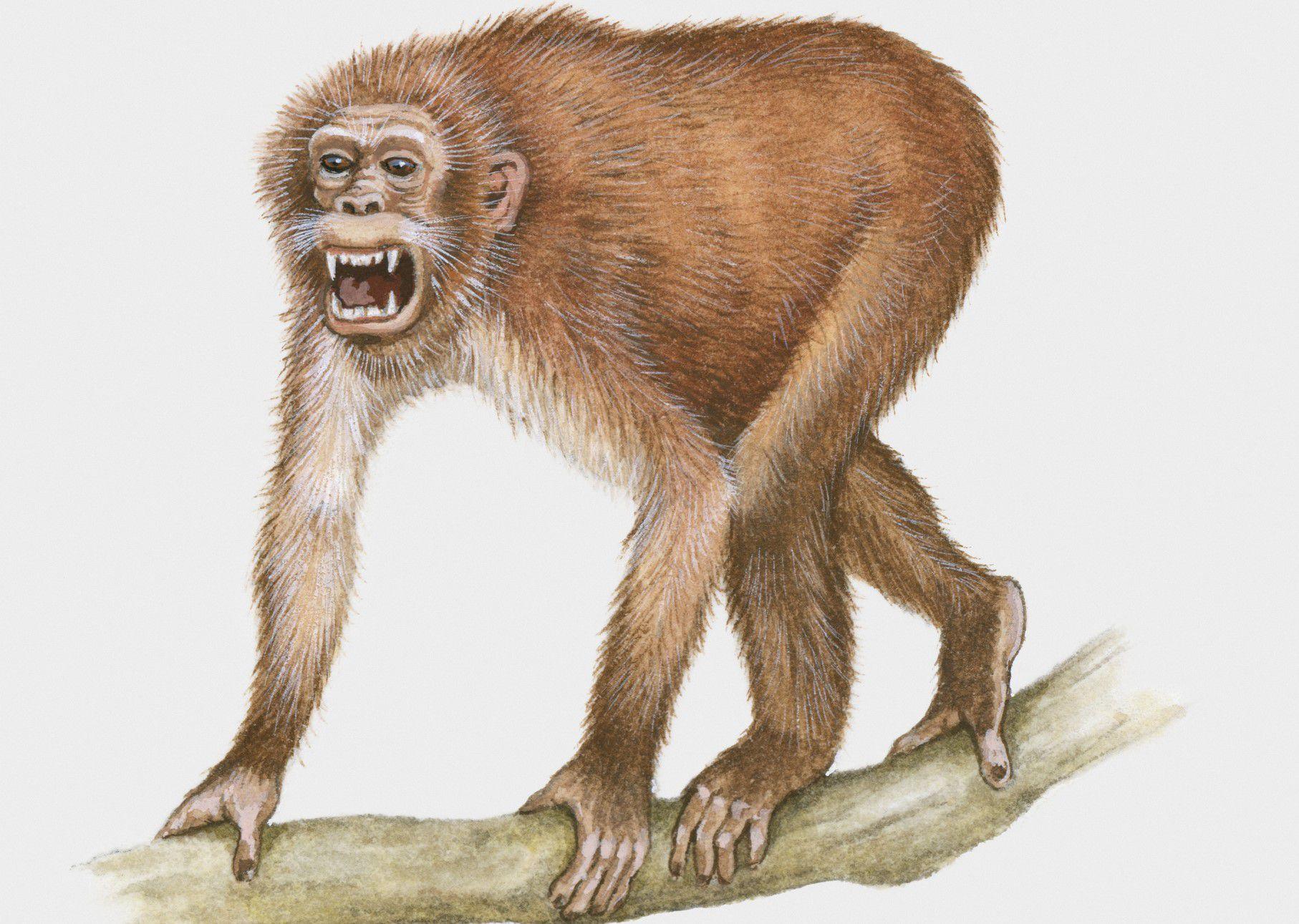eski dünya maymunları