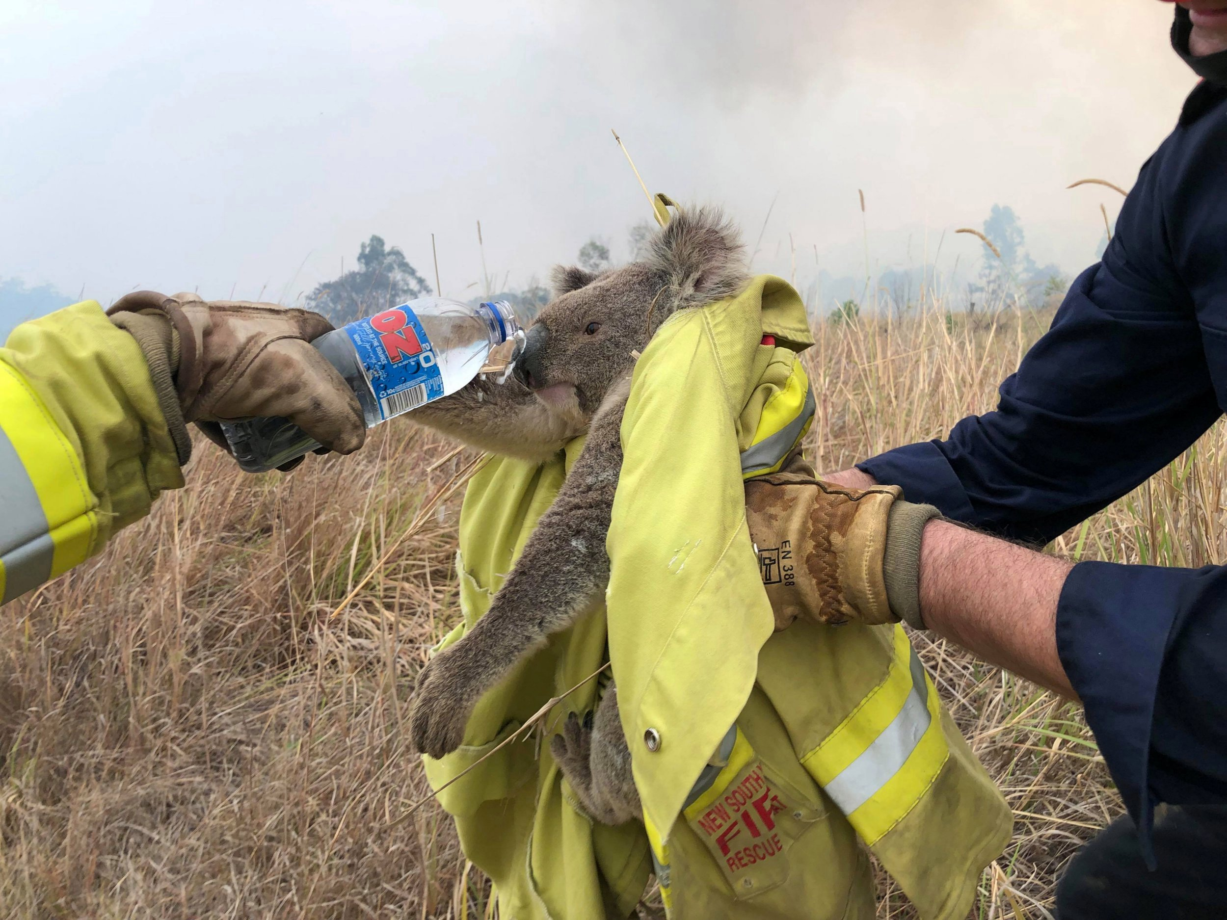 yangından kurtarılan koala