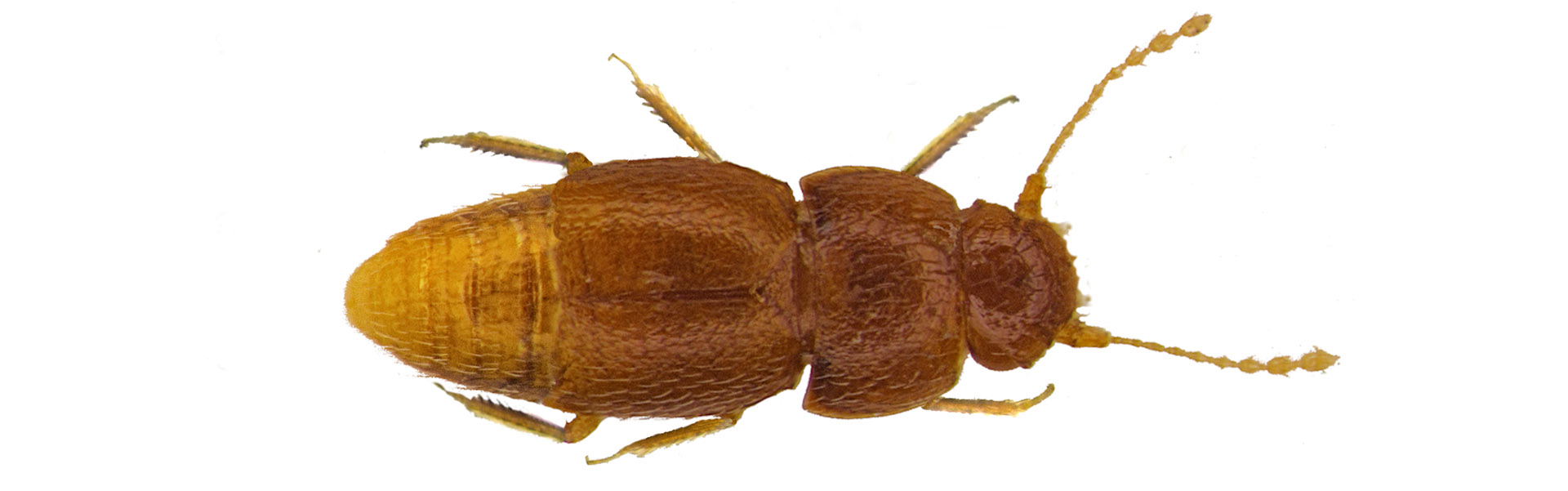 greta böcek