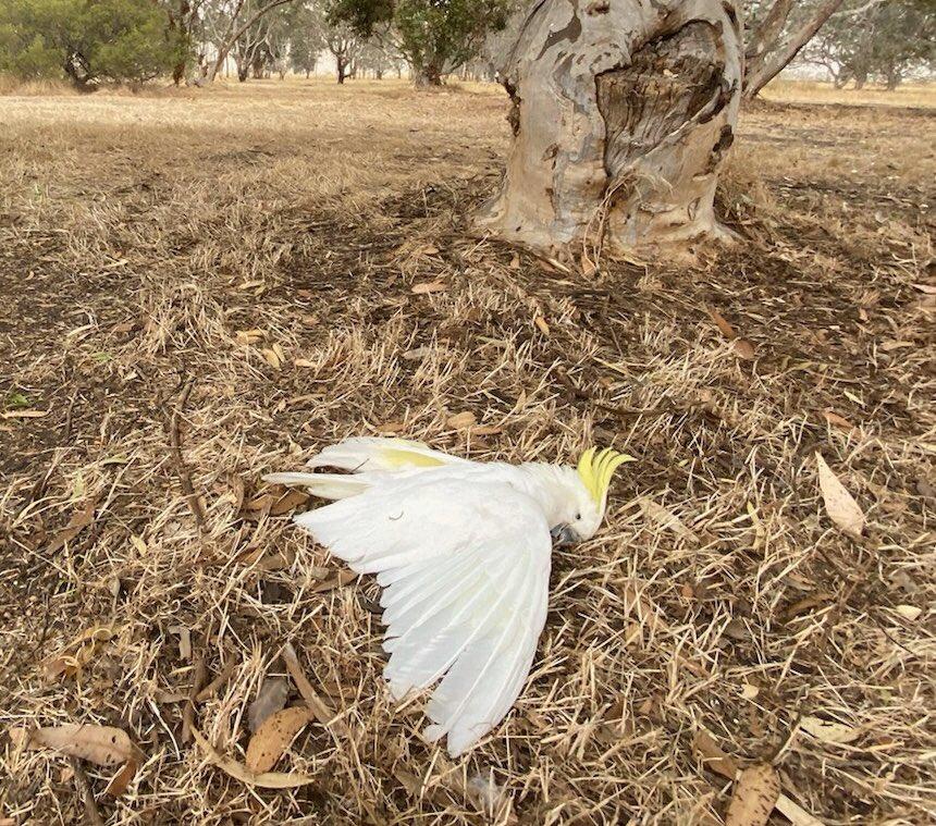 Kakadu kuşu iklim değişikliği