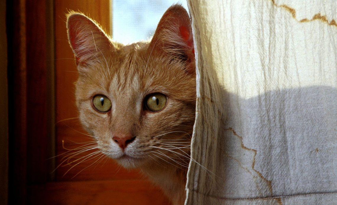 kedilerin evcilleştirilmesi ve kedilerin tarihi