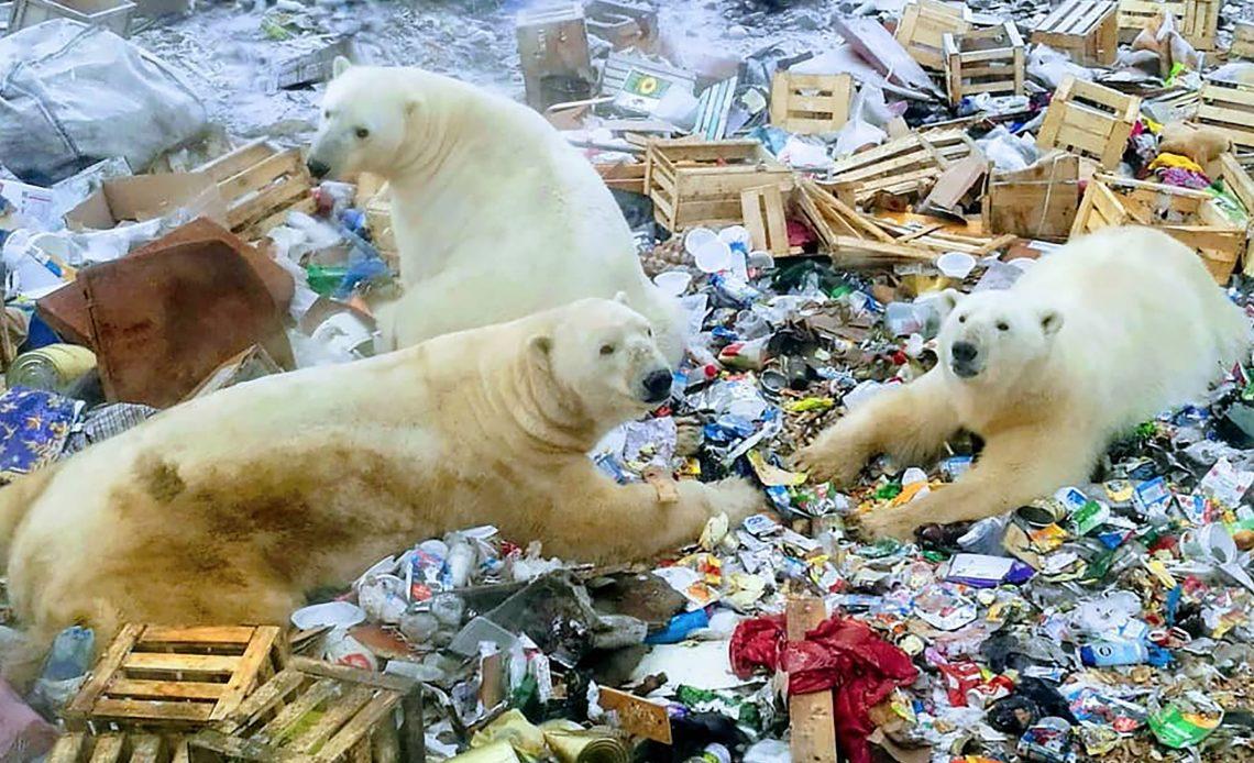 çöplükteki kutup ayıları