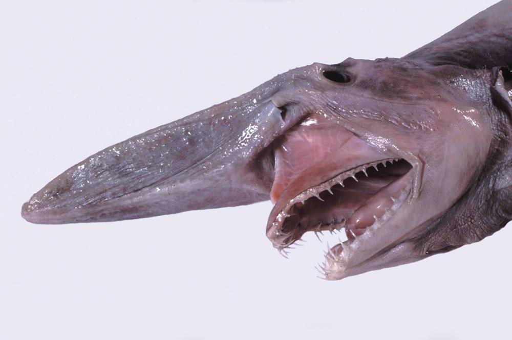 goblin köpek balığı