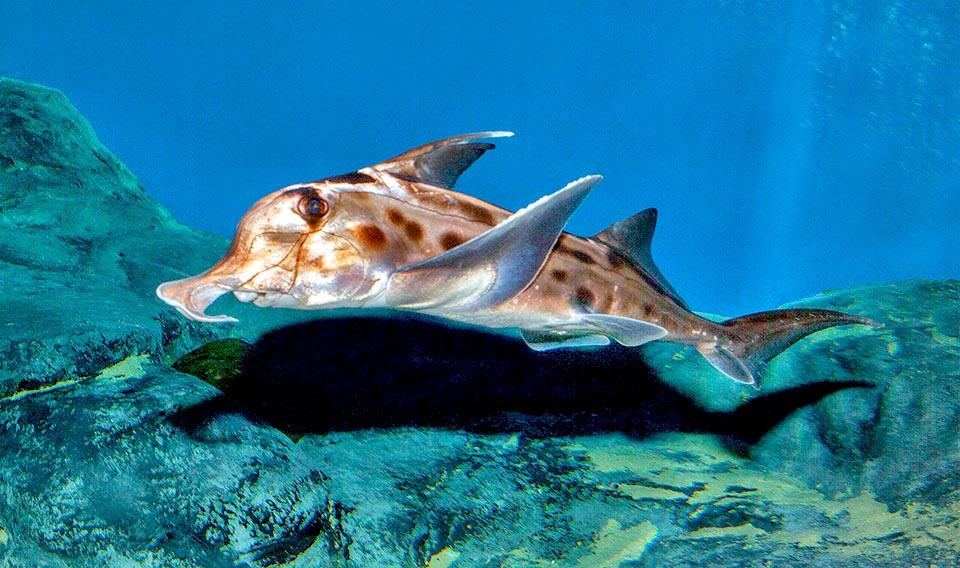 hayalet köpek balığı