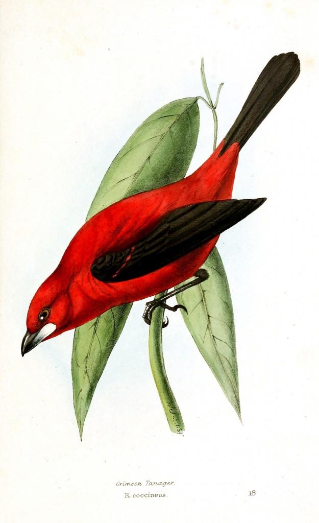 İspinoz benzeri, Neotropik bir kuş olan türü Crimson tanager, vücudu kırmızı kanatları ve kuyruğu siyah