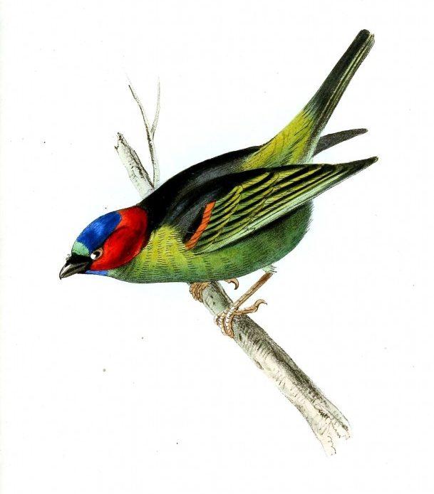 Yeşil gövdeli mavi ve kırmızı renkli kafa tüyleri olan İspinoz benzeri, Neotropik bir kuş olan türü tanager