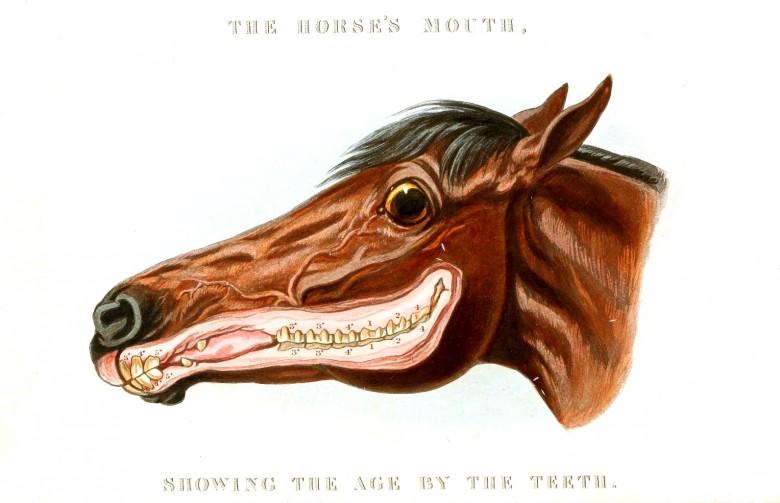 At kafası kesiti, yaşlarına göre dişleri gösteriyor.