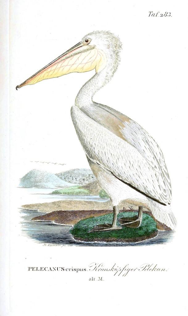 Vücudu beyaz renkte bir pelikan türü.