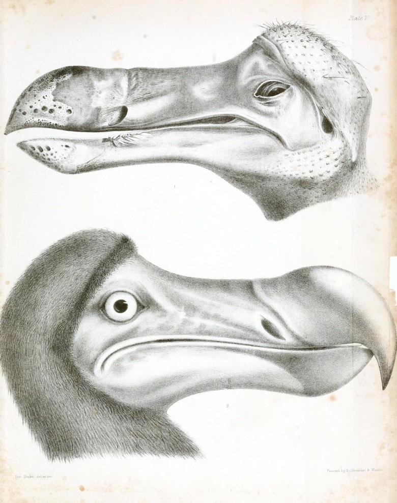 Nesli yok olmuş Dodo kuşunun kafa çizimi ve kafatası çizimi