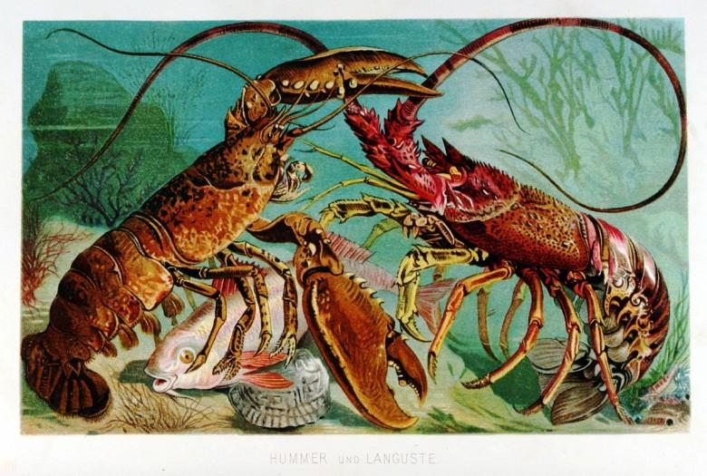 Istakozların balık avı ve av olmuş bir balık için rekabetini gösteren bir çizim.