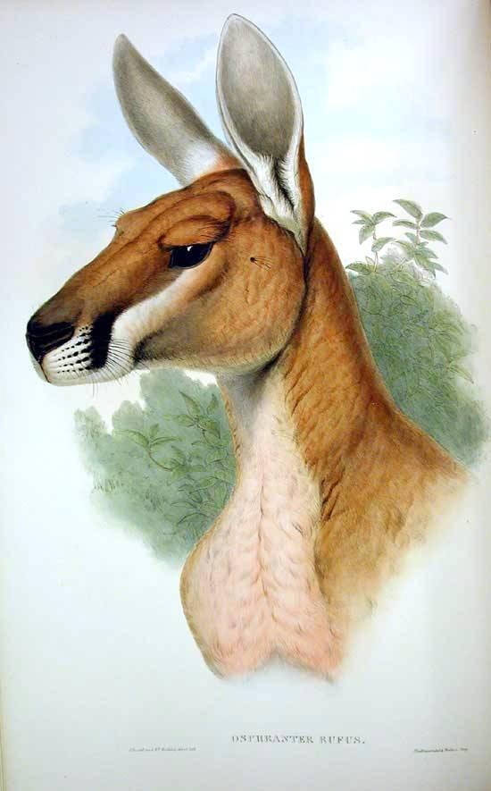 Büyük kulaklı kaslı çenesi olan kahve rengi kanguru kafası