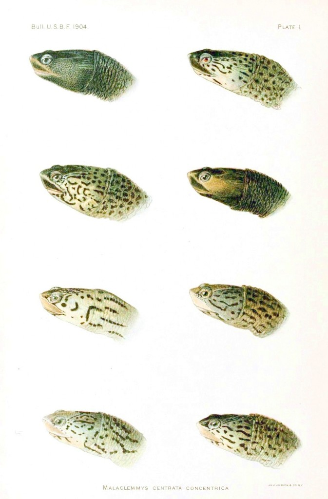 farklı türlere ait 6 kaplumbağa kafası çizimi