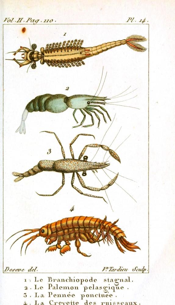 Farklı şekillerdeki dört karides türü.